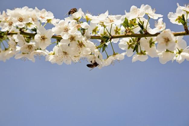 Pszczoła zapyla wiosną białe kwiaty wiśni na kwitnącym drzewie