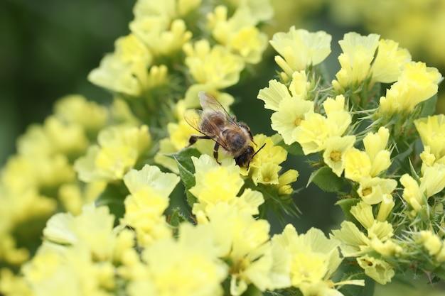 Pszczoła zapyla żółte kwiaty statice w polnych roślinach miodowych dla koncepcji pszczół