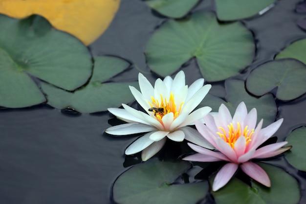 Pszczoła zapylająca biały kwiat lotosu na wodzie