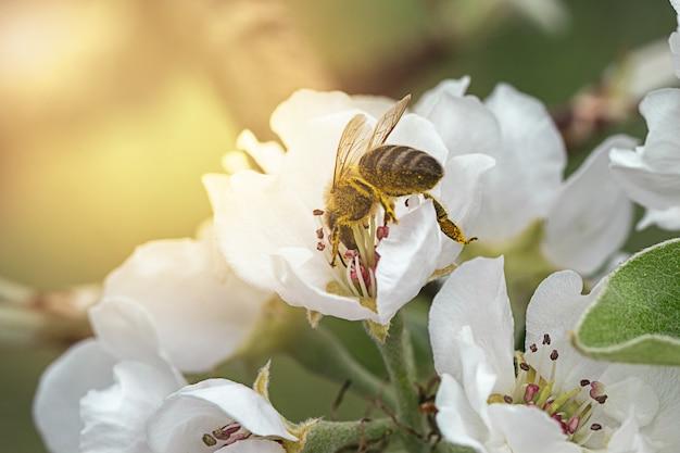 Pszczoła zapylająca jabłoń wiosną z białymi kwiatami naprzeciwko promieni słonecznych, zamknij się