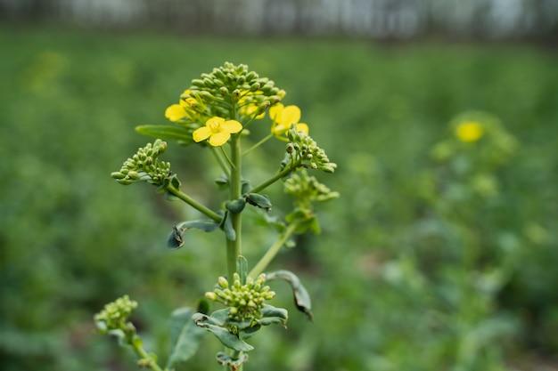 Pszczoła zbiera miód na kwiatku rzepaku