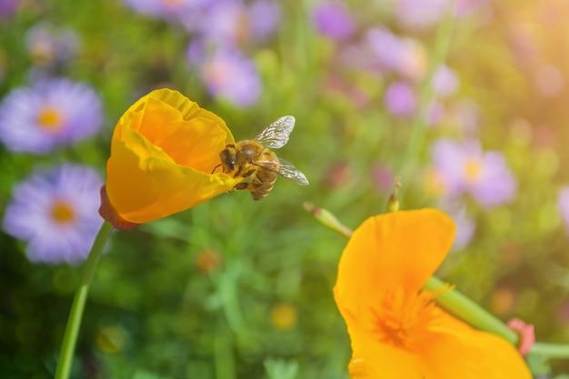 Pszczoła zbiera miód z żółtego kwiatu