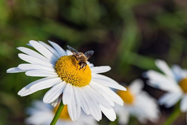 Pszczoła zbiera nektar na kwiatku