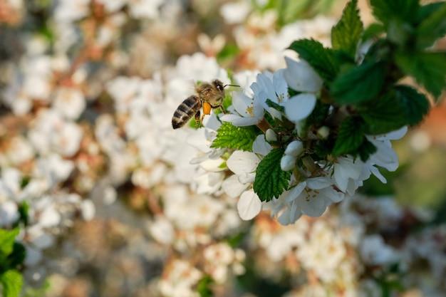 Pszczoła zbiera nektar na kwitnącym drzewie.