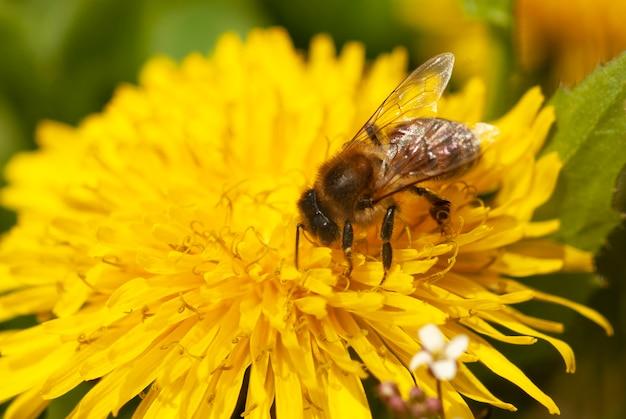 Pszczoła zbiera nektar na mniszku