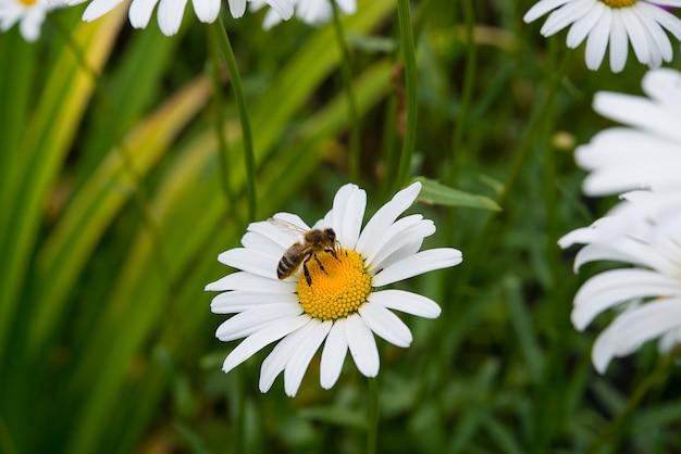 Pszczoła zbiera nektar na polnym kwiacie stokrotka na zamazanym tle zielonej trawy i kwiatów