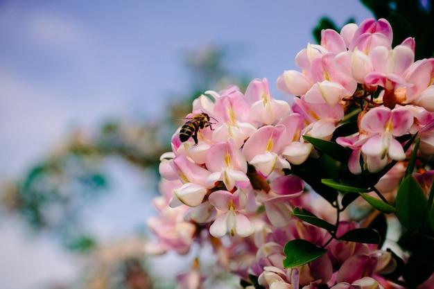 Pszczoła zbiera nektar na różowym akacjowym kwiacie