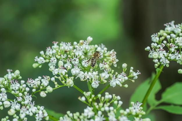 Pszczoła zbiera pyłek lub nektar z białego kwiatostanu waleriany latem w lesie. roślina lecznicza stosowana do produkcji leków, środków uspokajających, uspokajających