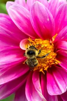 Pszczoła zbiera pyłek na kwiat dalii z różowymi płatkami z bliska