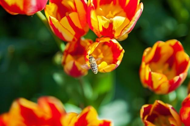 Pszczoła zbiera pyłek na tulipanach, rabata z tulipanami kwitnącymi w różnych kształtach i kolorach, pierwsze wiosenne tulipany w parku