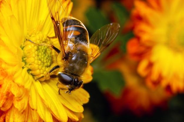 Pszczoła zbiera pyłek siedzący na kwiatku.