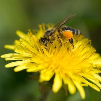 Pszczoła zbiera pyłek z mniszka lekarskiego.