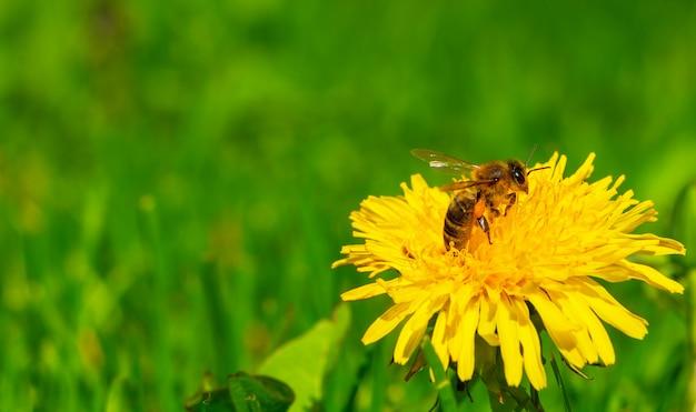 Pszczoła zbiera pyłek z żółtego mniszka lekarskiego.