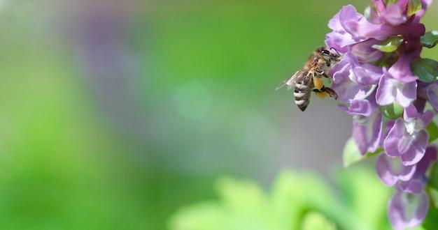 Pszczoła zbierająca nektar na kwiatach corydalis