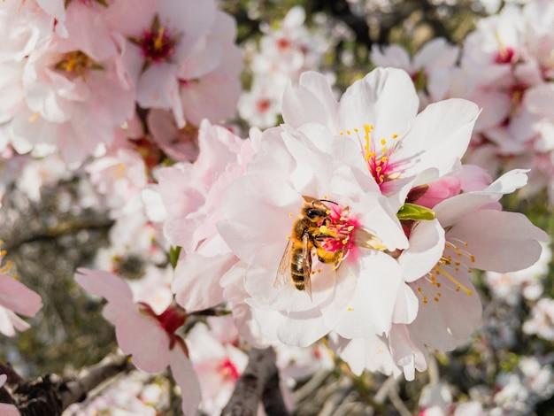 Pszczoła zbierająca pyłek na kwitnących drzewach migdałowych wiosną
