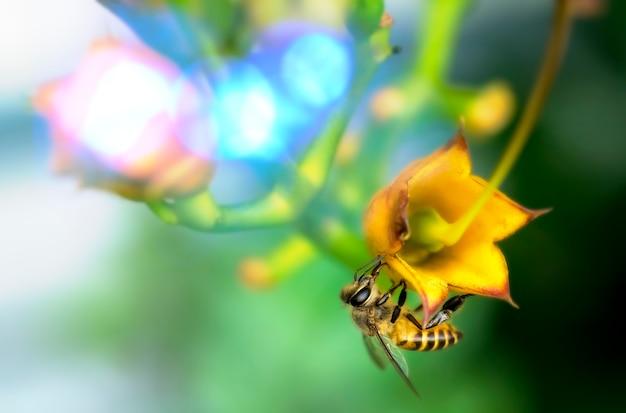 Pszczoła zbierająca pyłek na żółtym kwiecie pszczoła przelatująca nad żółtym kwiatem w rozmytym tle