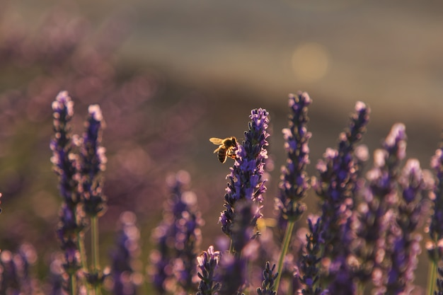 Pszczoły jedzą nektar na polach lawendy. koncepcja owadów