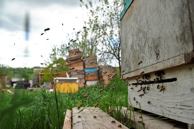 Pszczoły latają przed ulem w pasiece, zbierają pyłek i robią miód