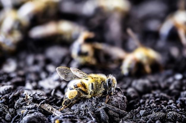 Pszczoły leżące na ziemi zabite trucizną lub pestycydami.