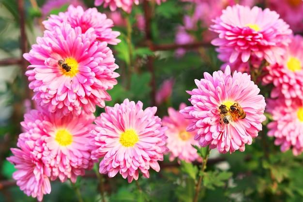 Pszczoły miodne na kwiatach