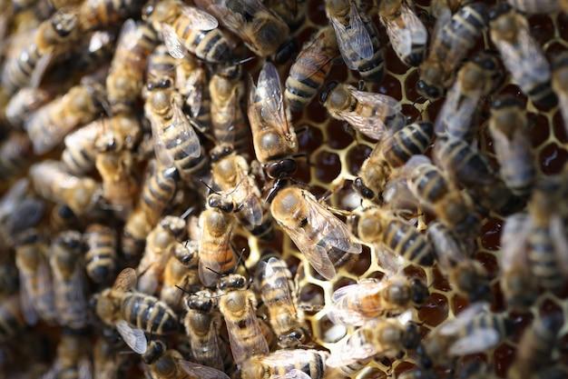 Pszczoły miodne na plastrze miodu w pasiece w okresie letnim zbliżenie zdrowe odżywianie naturalne produkty