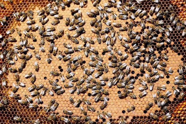 Pszczoły miodne w ulu z bliska