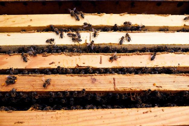 Pszczoły miodne w ulu