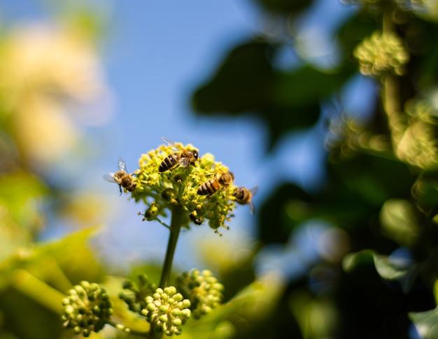 Pszczoły miodne zbierające nektar na kwiatach bluszczu. kwitnący bluszcz