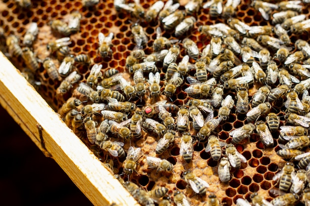Pszczoły na plaster miodu. rama miodu z pszczołami, pszczoły hodowlane, pszczelarstwo.