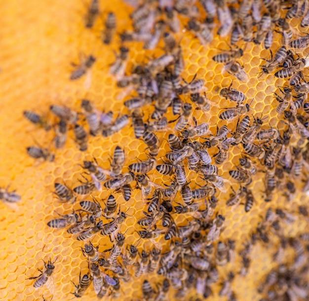 Pszczoły na plaster miodu, widok z góry. komórka miodowa z pszczołami. pszczelarstwo. pasieka