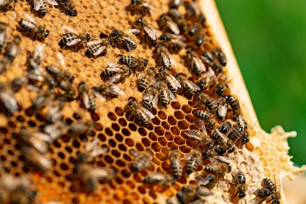 Pszczoły na plastrze miodu. pracujące pszczoły na komórkach miodu. koncepcja pasieki.