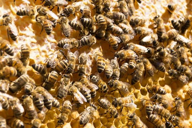 Pszczoły na plastrze miodu z miodem.