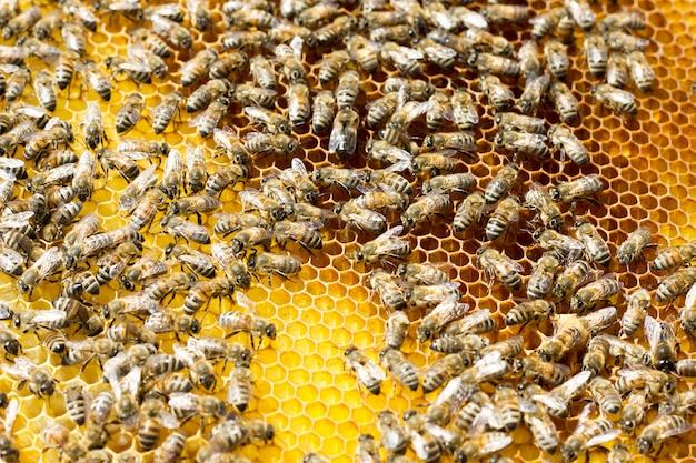 Pszczoły na plastrze miodu. zbliżenie pszczoły na plaster miodu w ulu.