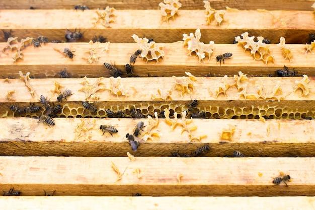 Pszczoły na ramie miodu. pszczoły hodowlane pszczelarstwo.