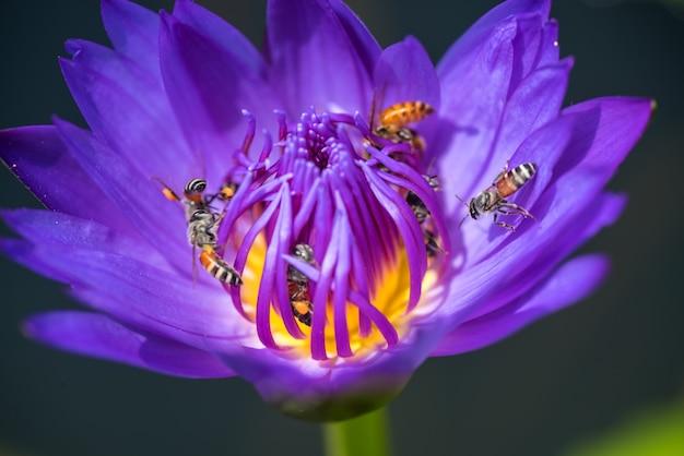 Pszczoły pobierają nektar z pięknej fioletowej lilii wodnej lub kwiatu lotosu.