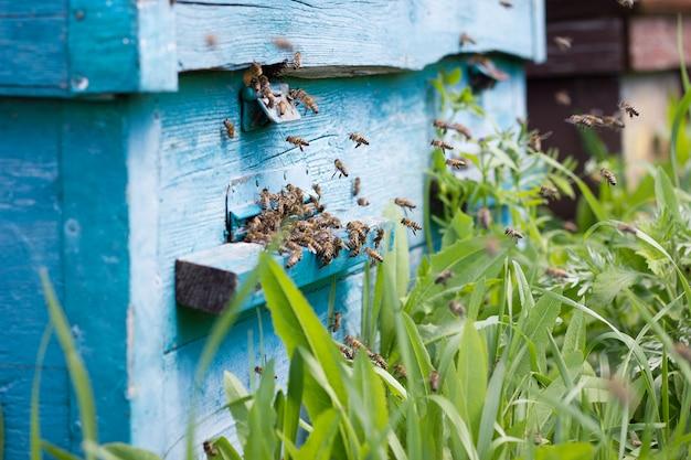 Pszczoły przenoszą nektar do ula.