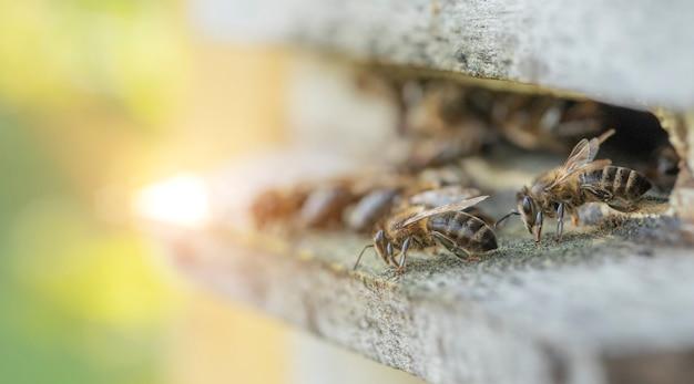 Pszczoły przy wejściu do drewnianego ula