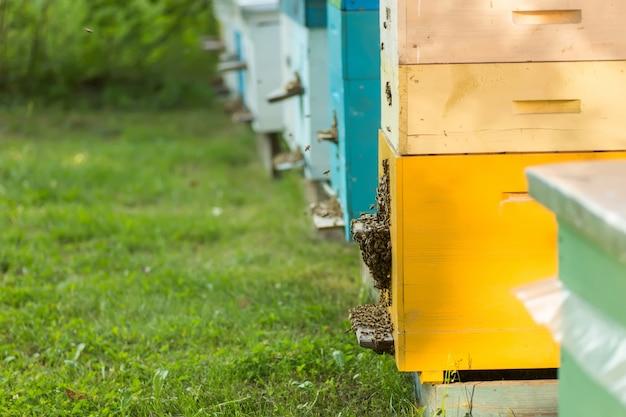Pszczoły przy wejściu do starego ula. pszczoły wracające ze zbioru miodu do żółtego ula. pszczoły przy wejściu. strażnicy kolonii pszczół miodnych uciekają z plądrowania spadzi. pszczoły wracają do ula po pożytku. skopiuj miejsce