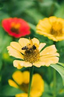 Pszczoły są na żółtej cyni, cynia jest bardzo popularną rośliną ozdobną.
