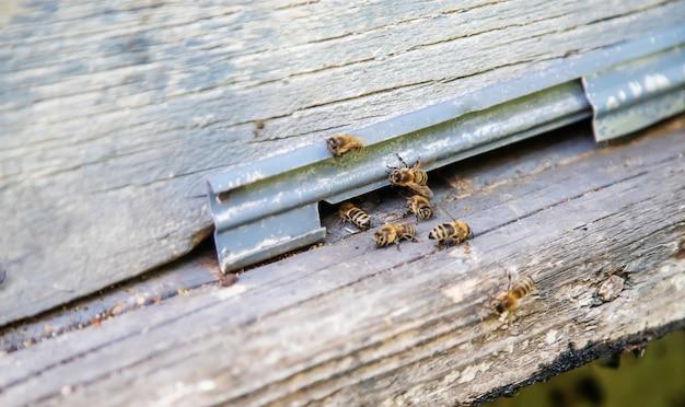 Pszczoły siedzą na tropie w lecie.