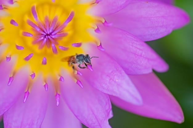 Pszczoły siedzący na różowym kwiacie lotosowym