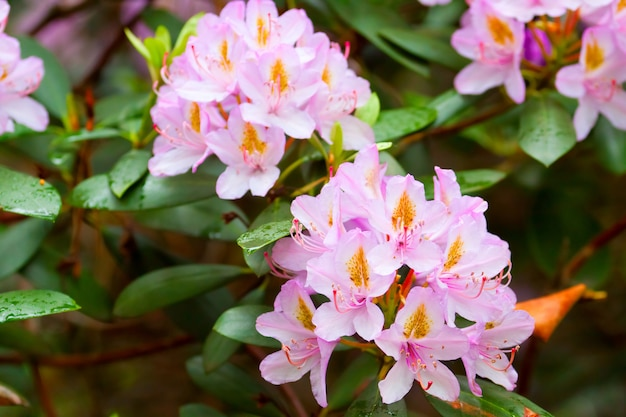 Pszczoły w pobliżu pąków kwiatowych rododendronów