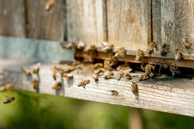 Pszczoły wchodzące do ula z zebranym nektarem kwiatowym