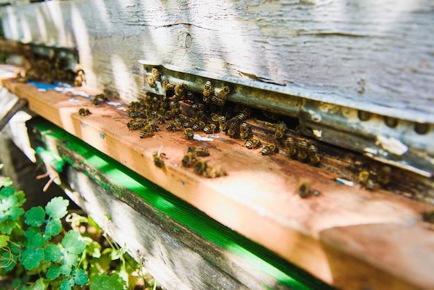 Pszczoły wlatują do wejścia do ula przynosząc pyłek. pszczoły przy wejściu do ula z bliska. pszczoła leci do ula. dron pszczeli miodnych wchodzi do ula.