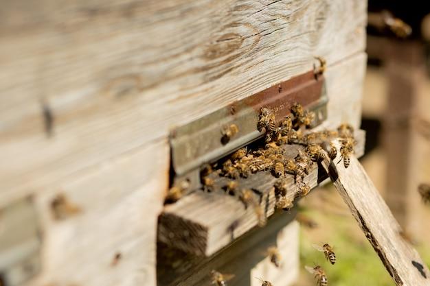Pszczoły wracają do ula i wchodzą do ula z zebranym kwiatowym nektarem i pyłkiem kwiatowym. rój pszczół zbierających nektar z kwiatów.