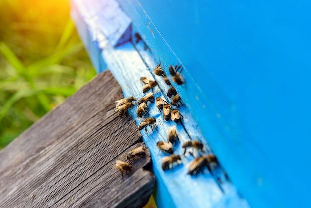 Pszczoły wracają z kolekcji miodu. pszczoły miodne w niebieskim ulu wejście. kolonia apis mellifera. lato w pasiece.