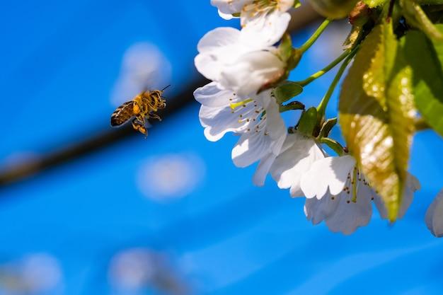 Pszczoły zapylają kwiat jabłoni w ogrodzie na wiosnę.