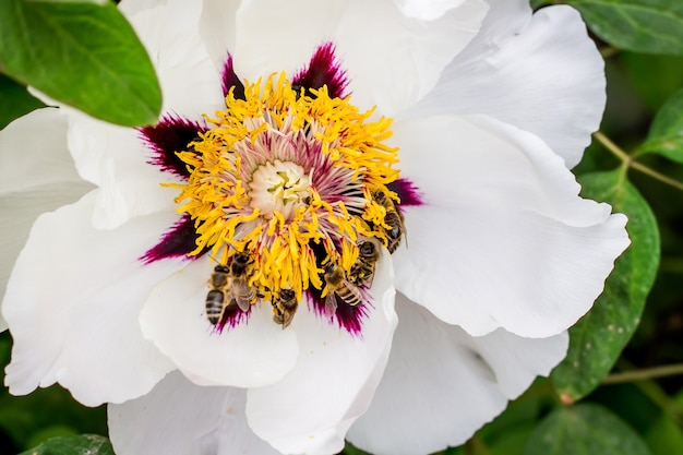 Pszczoły zbierają nektar z kwiatka drzewiastej piwonii w parku w wiosenny lub letni dzień