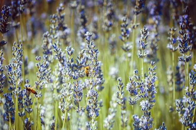 Pszczoły zbierają pyłek z kwiatów lawendy