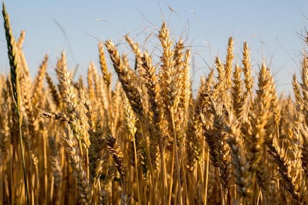 Pszenica i kłos pszenicy pod błękitnym niebem